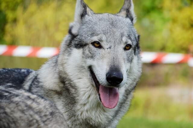 Temperamento el perro lobo checoslovaco