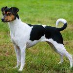 Terrier brasileño