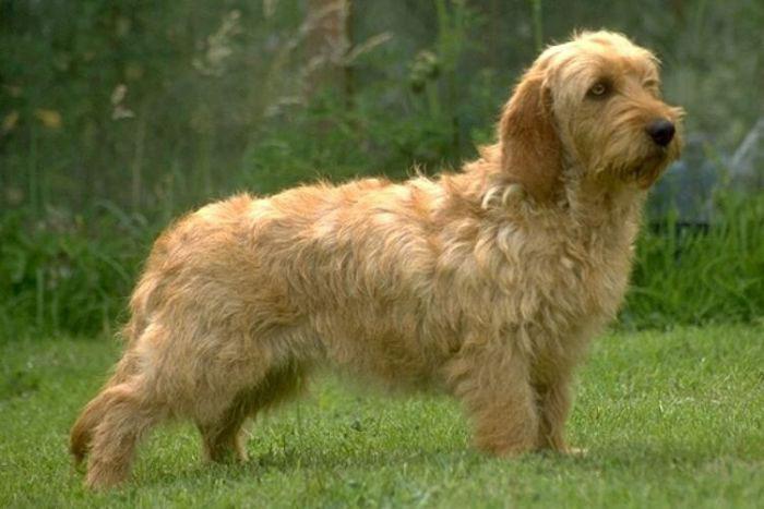 Basset leonado de Bretaña perro