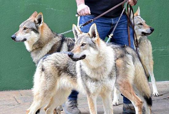 cuidados del Perro lobo checoslovaco