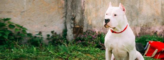 Dogo Argentino temperamento