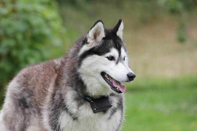 Husky siberiano perro