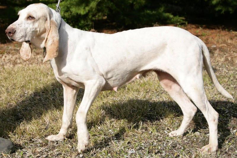 Porcelana perro