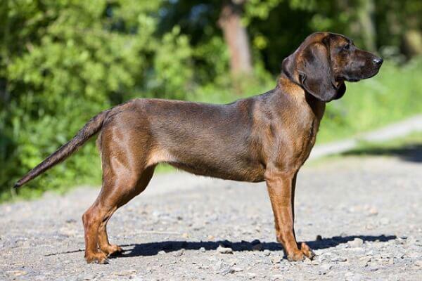 Sabueso de Hannover perro