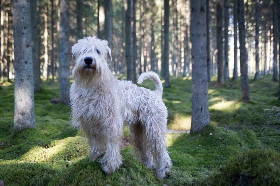 soft coated wheaten terrier 1