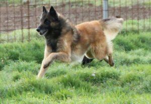 perro pastor corriendo