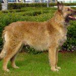 perro amarillo parado de lado