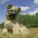chachorro pastor en el campo