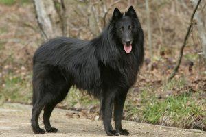 perro de pastoreo negro parado