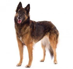 perro pastor belga tervuerense de cuerpo completo
