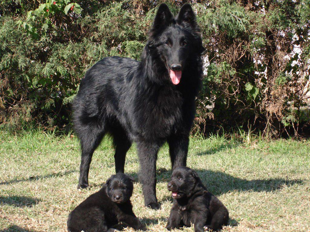 pastor belga groeneldael con dos cachorros