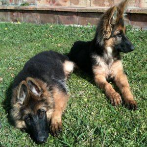 dos cachorros pastores alemanes