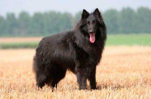 perro negro en el campo