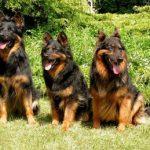 tres perros pastores bohemios