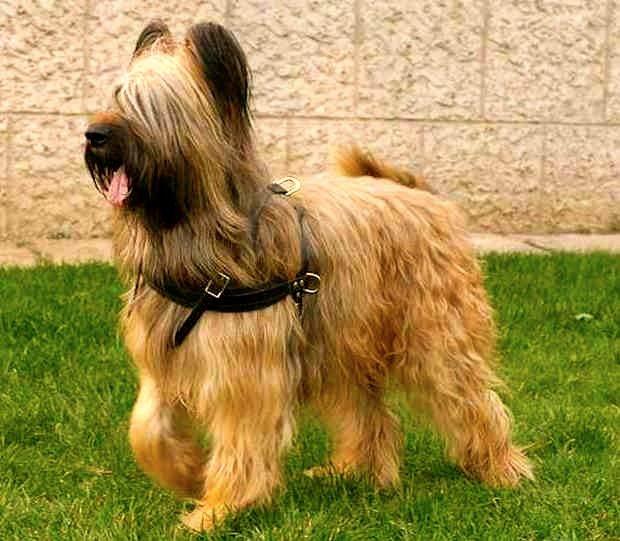 perro pastor de cuerpo completo