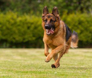 pastor alemán corriendo