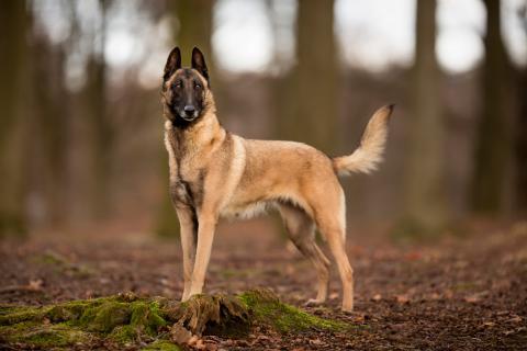 pastor belga malinois en el bosque