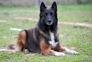 perro pastor acostado