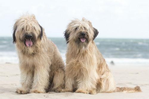dos perros pastores en la playa