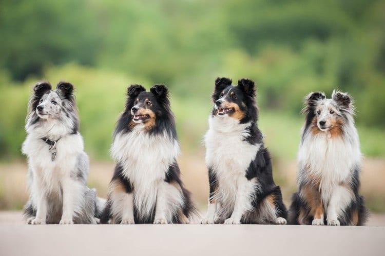 cuatro perros pastores