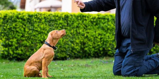 Cómo educar perros agresivos