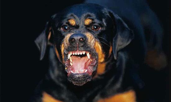 perros agresivos