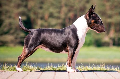 características físicas del Bull Terrier