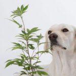 Beneficios del CBD en perros